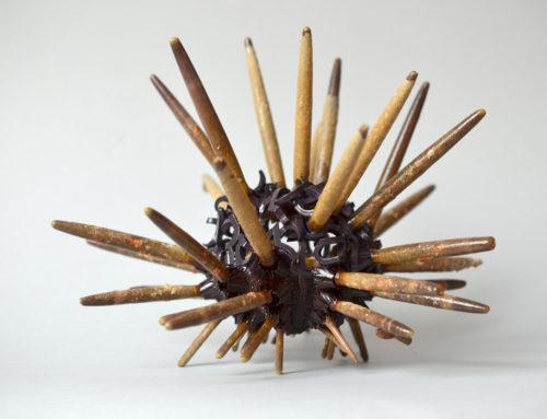 Phillacanthus Imperialis